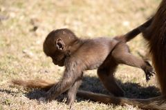 Baby gelada baboon Royalty Free Stock Photography
