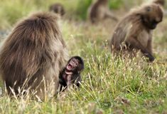 Baby gelada monkey sitting in grass by his mother stock photos
