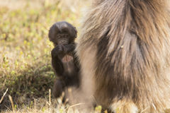 Baby Gelada Monkeys Stock Photos
