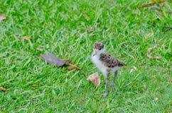 Baby Gemaskeerd Kievitkuiken die op het groene gras bij een botanische tuin lopen royalty-vrije stock afbeeldingen