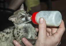 Baby genet animal feed by bottle Stock Photo