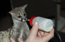Baby genet animal feed by bottle Royalty Free Stock Images