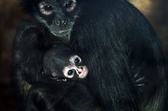 Baby Geoffroys spider monkey Royalty Free Stock Photos