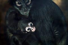 Baby Geoffroys spider monkey Royalty Free Stock Photos