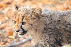 Baby-Gepard stockbilder
