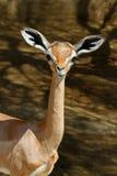Baby Gerenuk Royalty Free Stock Image