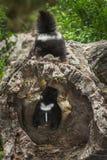 Baby Gestreept Stinkdier (Mephitis-mephitis) boven op Logboek Royalty-vrije Stock Afbeelding