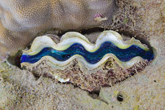 Baby giant clam of great barrier reef with beautiful blue colour. This creature enjoys the warm waters and is the largest living bivalve mollusc. It can weigh Royalty Free Stock Photography
