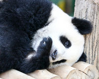 Baby Giant Panda Bear Stock Image