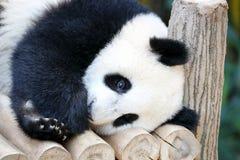 Baby Giant Panda Bear Royalty Free Stock Photos
