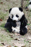 Baby giant panda sitting sleepy Stock Images