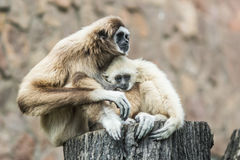 Baby gibbon sucking milk Stock Images