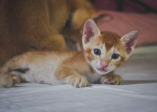 A baby ginger kitten staring right into the lense of the camera Royalty Free Stock Photography