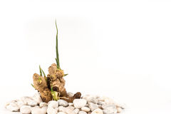 Baby ginger root grow white background Royalty Free Stock Photography