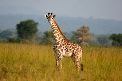 Baby Giraffe. A young giraffe bathed in a nice golden sun on the African plain Stock Images