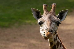 Baby giraffe. Portrait of a baby giraffe royalty free stock photo