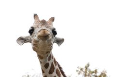 Baby Giraffe. Curious baby Giraffe making a face royalty free stock photos