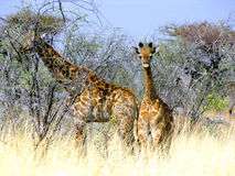 Baby giraffe Royalty Free Stock Image