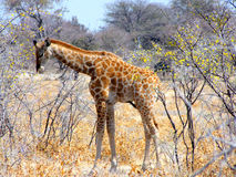 Baby giraffe. In Etosha National Park, Namibia royalty free stock photos