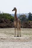 Baby Giraffe. In a African Park royalty free stock images