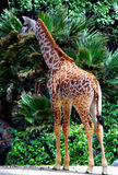 Baby Giraffe. Stands tall in concrete jungle stock images