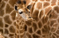 Baby giraffe. A baby giraffe up close in front of mothers side making a patterned background stock photos