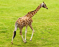 Baby Giraffe. A baby Giraffe against green grass royalty free stock photos