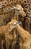 Baby giraffe. In the safari park Stock Images