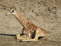 Baby giraffe. Lying on ground royalty free stock photography
