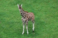 Baby giraffe. Babi giraffe in safari zoo Royalty Free Stock Photo