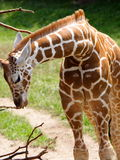 Baby giraffe. At the Indy Zoo royalty free stock photo