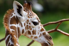 Baby Giraffe. At the zoo royalty free stock images