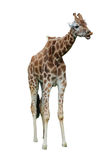 Baby Giraffe. A baby Giraffe object cut out and ready for use on websites stock photos