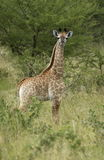 Baby giraffe. A baby giraffe in the Kruger National Park, South Africa royalty free stock image