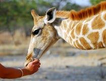 Baby giraffe. A baby giraffe sucking on a human thumb Stock Photo