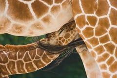 Baby giraffe. A new born baby giraffe is drinking bij his mother royalty free stock photos