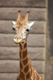 The Baby Giraffe. Baby giraffe at Taronga Zoo, Sydney Australia royalty free stock image