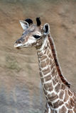 Baby Giraffe. New Baby Giraffe Discovering Life royalty free stock photo