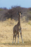 Baby giraffe in Africa. Baby giraffe in the Nxai Pan National Park royalty free stock photos