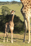 Baby Giraffe in African bush Stock Image