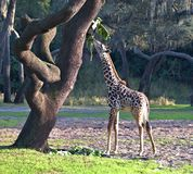 A baby Giraffe. Is eating fruit from a tree royalty free stock photo