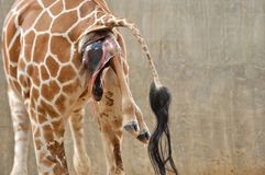 Baby giraffe. Is giving birth on the land stock photos