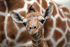 Baby giraffe. A baby giraffe with mother royalty free stock images