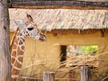 Baby giraffe. In the zoo royalty free stock image