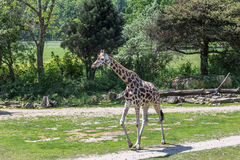 Baby giraffe. On the background of greenery, the zoo of Leipzig, Germany stock photos