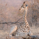 Baby Giraffe, Balule Reserve, South Africa. Stock Image