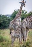 A baby Giraffe bonding with the mother. stock photos