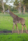 Baby giraffe calf Royalty Free Stock Photography