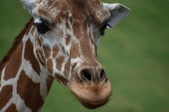 Baby Giraffe. Close up face picture stock images