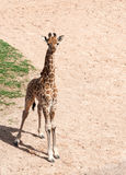 Baby Giraffe. Close up of a Baby Giraffe standing royalty free stock photography